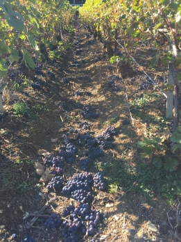 Dropped Pinot Meunier Bunches