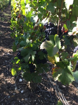Still on the vine